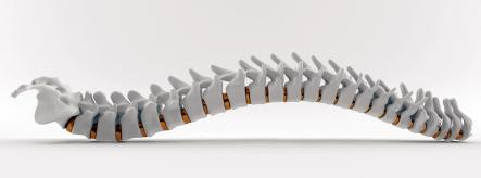 Rendered drawing of human spine
