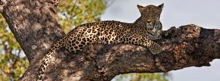 A leopard relaxing - one of many animals you could work with