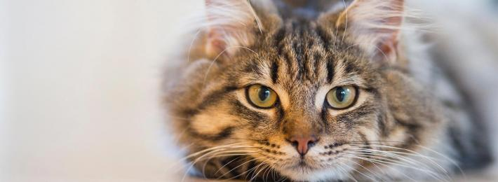 Domestic cat - careers as a vet