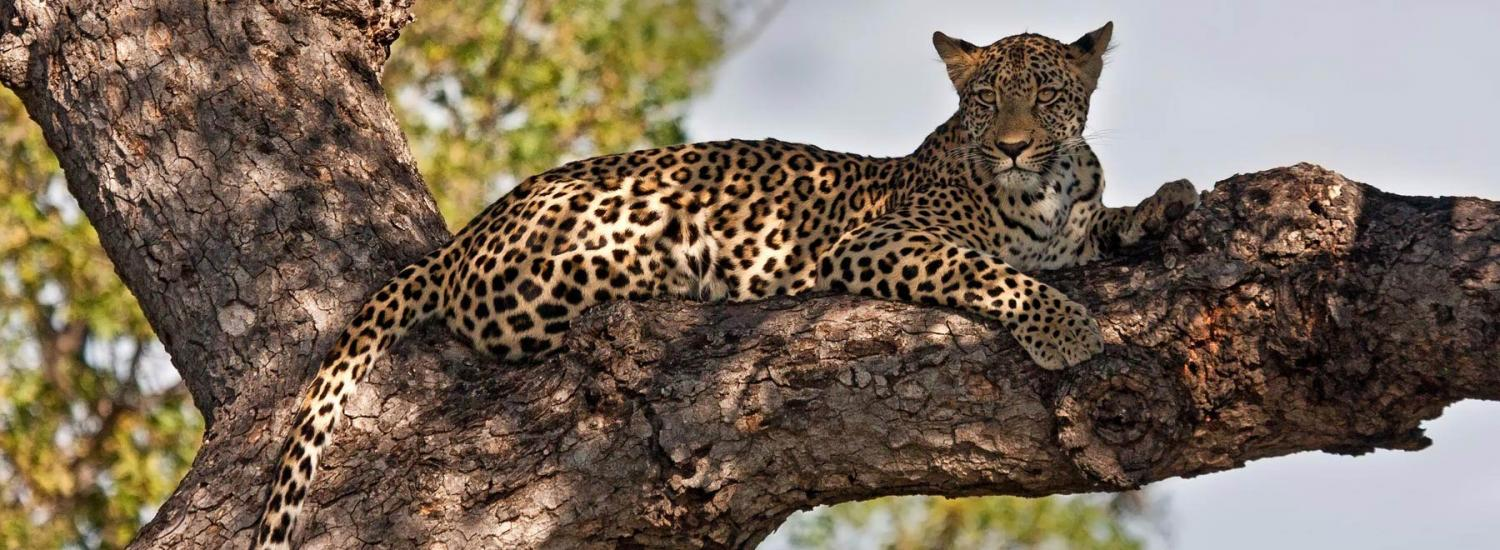 A Leopard Relaxing   One Of Many Animals You Could Work With